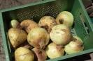Gemüsezwiebeln (1)