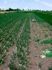 Gemüsezwiebeln (2)