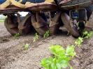 Sellerie pflanzen (4)
